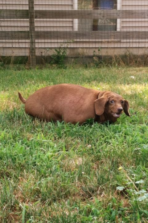 Grass, Terrestrial animal, Working animal, Snout, Liver, Fawn, Dog breed, Prairie, Pasture, Companion dog,