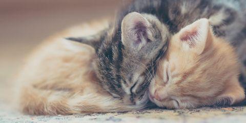 Skin, Small to medium-sized cats, Vertebrate, Whiskers, Carnivore, Cat, Felidae, Comfort, Nap, Beige,