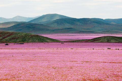 Mountainous landforms, Highland, Hill, Landscape, Purple, Field, Mountain, Ecoregion, Plain, Soil,