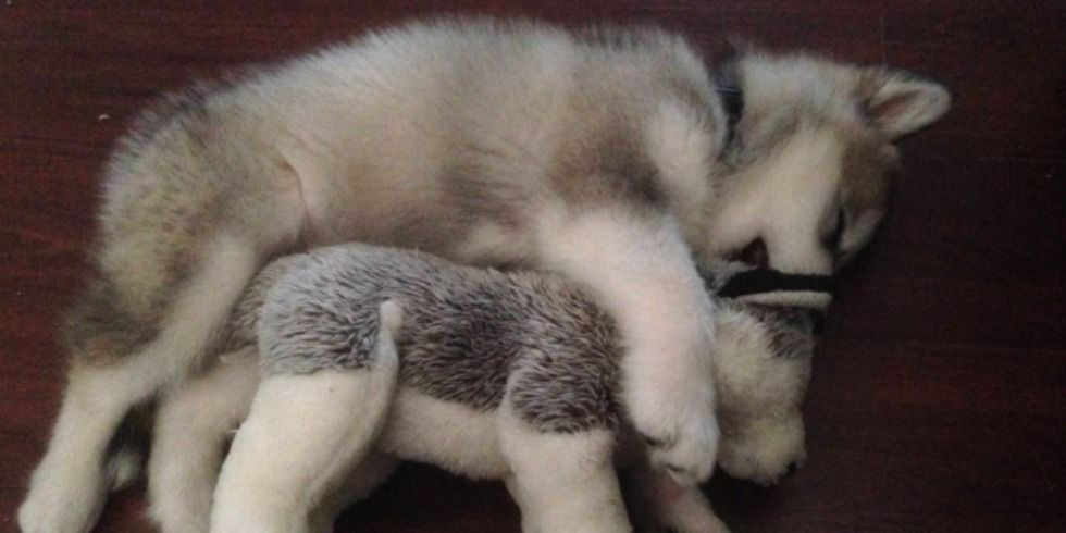 This Adorable Malamute S Favorite Stuffed Animal Looks Just Like Her