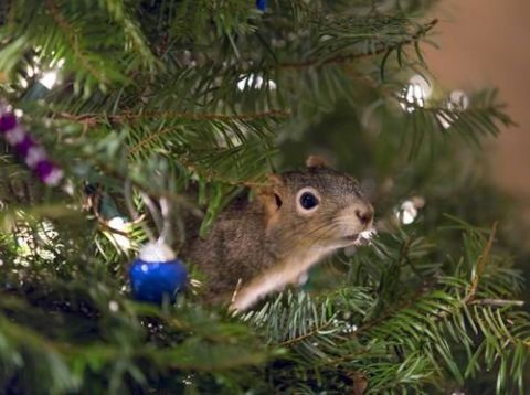 Branch, Organism, Twig, Christmas decoration, Rodent, Woody plant, Holiday, Whiskers, Pest, Christmas,