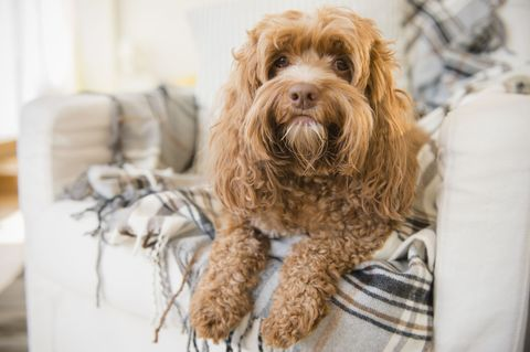 Dog breed, Dog, Carnivore, Liver, Toy dog, Companion dog, Water dog, Sporting Group, Snout, Canidae,