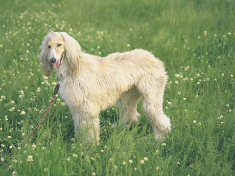 Dog breed, Grass, Vertebrate, Carnivore, Mammal, Dog, Grassland, Field, Meadow, Pasture,