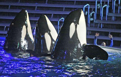 SeaWorld killer whales, SeaWorld orcas