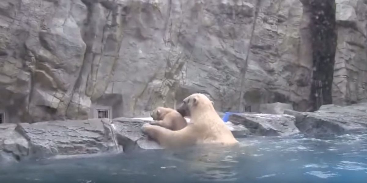 this polar bear swiftly saving her cub from drowning