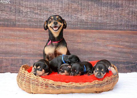 Dog breed, Vertebrate, Dog, Carnivore, Basket, Storage basket, Wicker, Home accessories, Companion dog, Working animal,