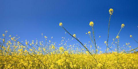 Yellow, Flower, Wildflower, Mustard, Flowering plant, Meadow, Field, Spring, Canola, Subshrub,