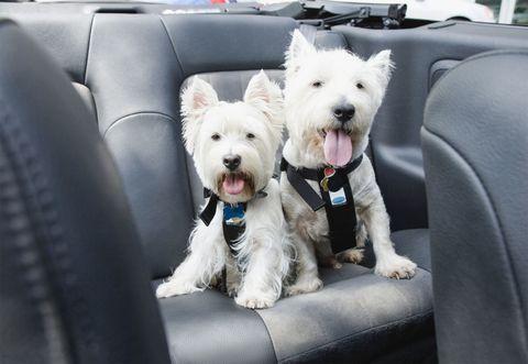 Dog breed, Dog, Carnivore, Vertebrate, West highland white terrier, Terrier, Vehicle door, Collar, Small terrier, Car seat,