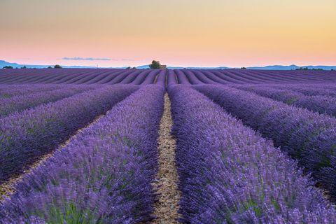 Purple, Lavender, Agriculture, Farm, Field, Violet, Lavender, Evening, Dusk, Plantation,