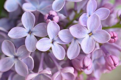 Purple, Petal, Organism, Flower, Lavender, Violet, Pink, Flowering plant, Lilac, Spring,