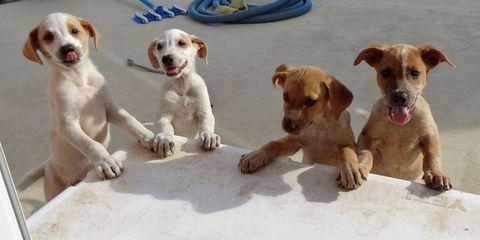 Dog breed, Dog, Carnivore, Vertebrate, Mammal, Sporting Group, Dog supply, Snout, Fawn, Companion dog,