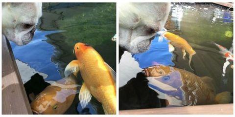 bull dog and fish won't stop kissing