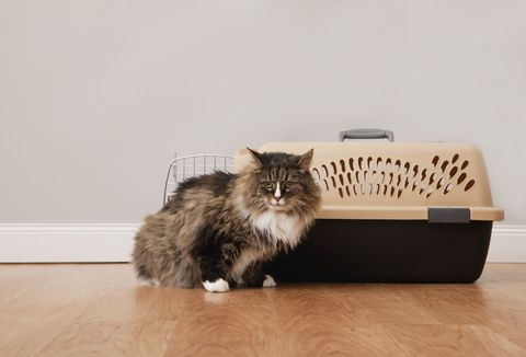 Whiskers, Floor, Flooring, Felidae, Cat, Carnivore, Small to medium-sized cats, Laminate flooring, Hardwood, Wood flooring,