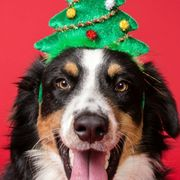 Dog breed, Dog, Vertebrate, Carnivore, Christmas decoration, Collar, Sporting Group, Holiday, Costume accessory, Fur,