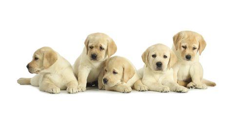 Dog, Yellow, Carnivore, Skin, Vertebrate, Organism, Mammal, Dog breed, Snout, Fawn,