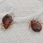 Insect, Pest, Invertebrate, Parasite, Organism, Tick, Arthropod, Bug, Flea, Louse,
