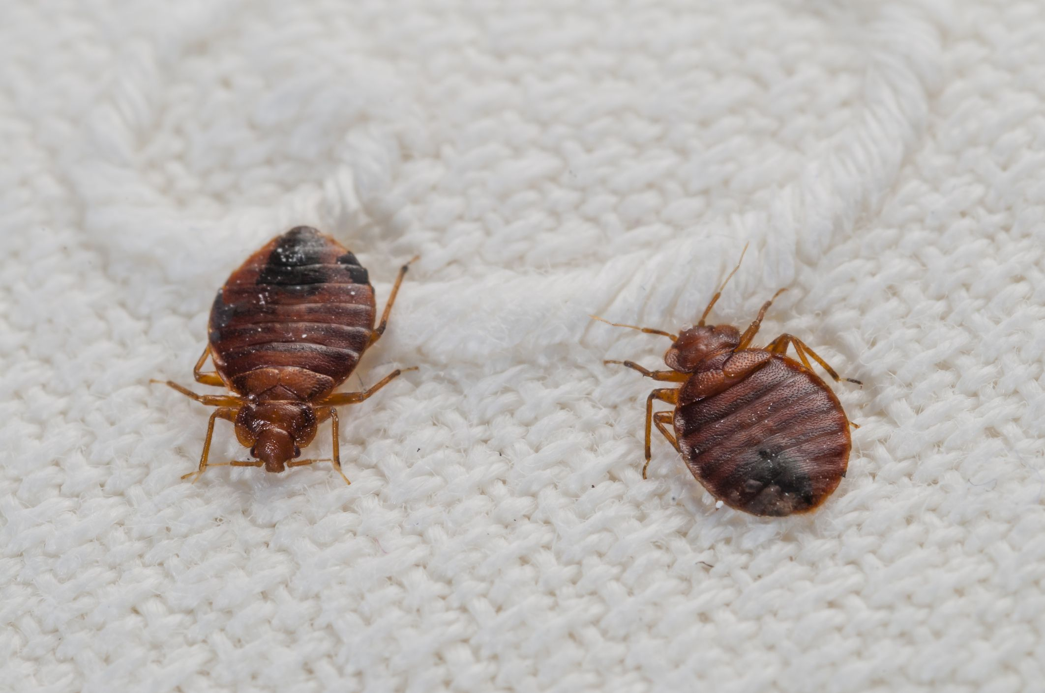 Where Do Bedbugs Come From - How to Get Rid of Bedbugs