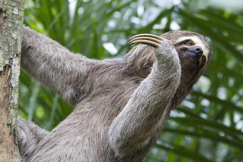 Vertebrate, Three-toed sloth, Sloth, Wildlife, Terrestrial animal, Two-toed sloth, Tree, Plant,