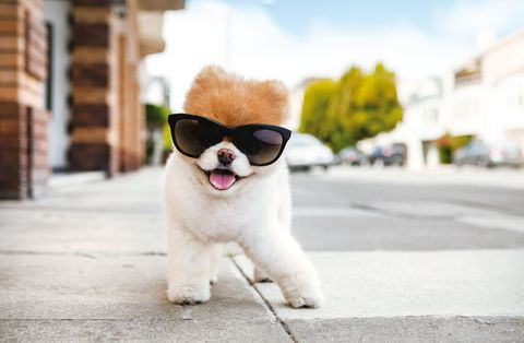 Boo the Pomeranian smiles for a pet portrait with sunglasses.