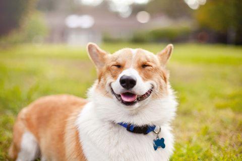 Cola the Corgi smiles for a pet portrait in a field.