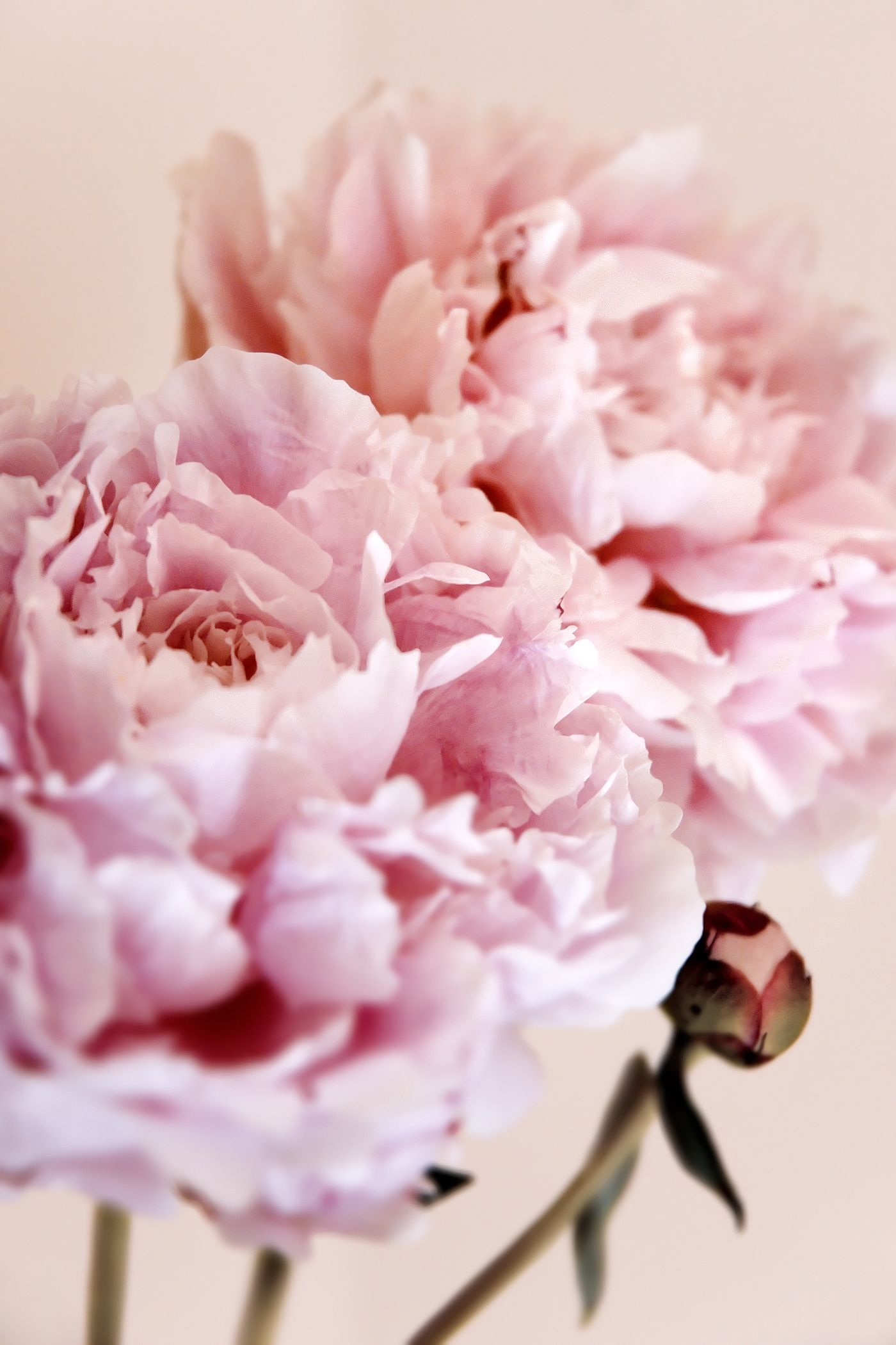 peonies Flower Meanings