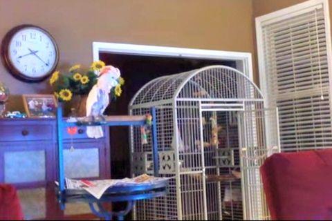 Arguing Parrot
