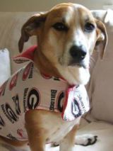 The regal beagle, Piper, ready to cheer on the GA Bulldogs!!!