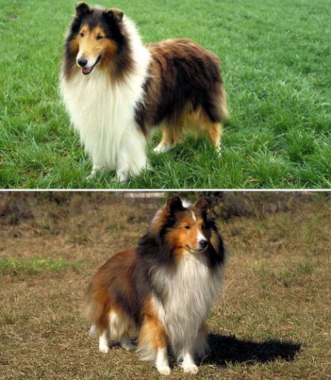 rough collie and shetland sheepdog