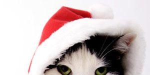 cat in Christmas gear