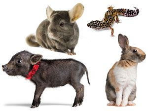 <p>Sure, dogs and cats are adorable, but it's time to think outside the litter box. There's a slew of other kinds of critters that are just as loveable. Keep clicking to meet four fluffy and oh-so-cute pet possibilites. </p> <p> </p>