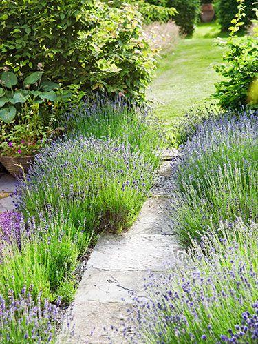 "<p><strong>Genus</strong>:<strong> </strong><em>Lavandula spp.</em></p> <p><strong>Zones:</strong> 5 to 9</p> <p><strong>Cost: </strong>$6 to $10</p> <p><strong>Expert Says: </strong>""Lavender's practically indestructible, genuinely deer-resistant, and comes in beautiful hues."" <em>—Robert Kourik, garden designer, Sebastopol, California</em></p>"