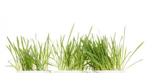 Grass, Flowerpot, Grass family, Fictional character, Flowering plant, Produce, Houseplant, Wheatgrass, Nightshade family, Sedge family,